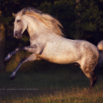 Schimmel; Iberer; Spanier; Andalusier; Abendlicht; Galopp; Pferdefotograf; Pferdefotografie; Pferd; Pony; Horse; Equus; Equestrian; Equine; photography; photographer; animal; Pferdefotoworkshop; Pferdefotografieworkshop; Workshop; Fotoworkshop