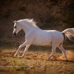 Schimmel; Araber; Portrait; Abendlicht; Galopp; Pferdefotograf; Pferdefotografie; Pferd; Pony; Horse; Equus; Equestrian; Equine; photography; photographer; animal; Pferdefotoworkshop; Pferdefotografieworkshop; Workshop; Fotoworkshop