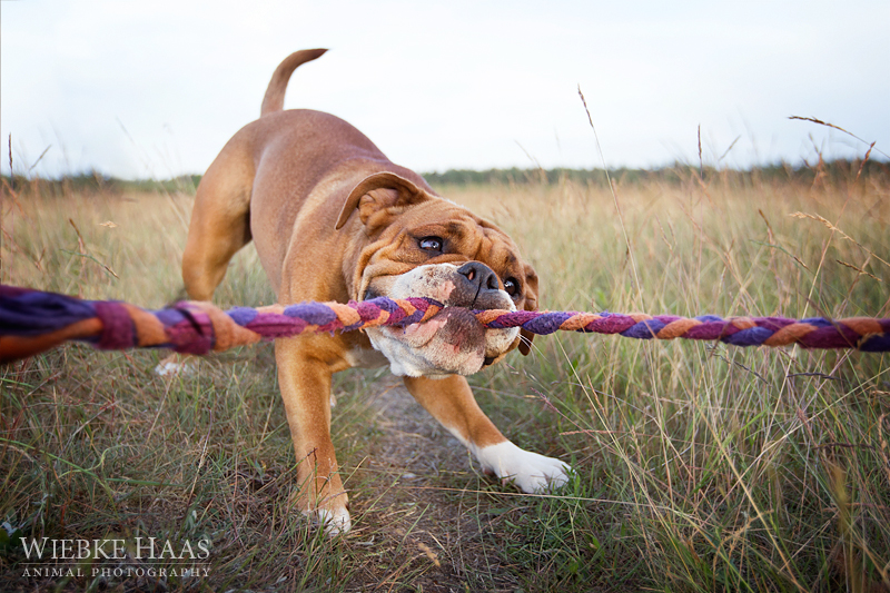 Bulldogs, Continental, Welpen, Tierfotografie, Hundefotografie