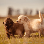 Azawakh, Blond, Braun, Deutscher, Herdenschutzhund, Hundefotograf, Hundefotografie, Schwarz, Welpe, Welpen
