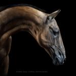 Goldfalbe; Achal-Tekkiner; Hengst; Portrait; Studio; Fine-Art; Pferdefotograf; Pferdefotografie; Pferd; Pony; Horse; Equus; Equestrian; Equine; photography; photographer; animal; Pferdefotoworkshop; Pferdefotografieworkshop; Workshop; Fotoworkshop