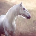 Lusitano; Schimmel; Portrait; Pferdefotograf; Pferdefotografie; Pferd; Pony; Horse; Equus; Equestrian; Equine; photography; photographer; animal; Pferdefotoworkshop; Pferdefotografieworkshop; Workshop; Fotoworkshop