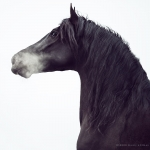 PRE; Rappe; Iberer; Spanier; Andalusier; Hengst; Portrait; Pferdefotograf; Pferdefotografie; Pferd; Pony; Horse; Equus; Equestrian; Equine; photography; photographer; animal; Pferdefotoworkshop; Pferdefotografieworkshop; Workshop; Fotoworkshop