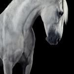 Schimmel; PRE; Portrait; Studio; Fine-Art; Pferdefotograf; Pferdefotografie; Pferd; Pony; Horse; Equus; Equestrian; Equine; photography; photographer; animal; Pferdefotoworkshop; Pferdefotografieworkshop; Workshop; Fotoworkshop