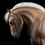 Norweger; Fjordpferd; Portrait; Studio; Fine-Art; Pferdefotograf; Pferdefotografie; Pferd; Pony; Horse; Equus; Equestrian; Equine; photography; photographer; animal; Pferdefotoworkshop; Pferdefotografieworkshop; Workshop; Fotoworkshop