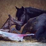 Geburt; Mustang; Fohlen; Kiger; Mutter; Pferdefotograf; Pferdefotografie; Pferd; Pony; Horse; Equus; Equestrian; Equine; photography; photographer; animal; Pferdefotoworkshop; Pferdefotografieworkshop; Workshop; Fotoworkshop