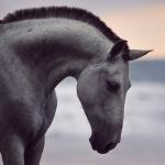Schimmel; Apfelschimmel; PRE; Iberer; Spanier; Andalusier; Meer;  Portrait; Pferdefotograf; Pferdefotografie; Pferd; Pony; Horse; Equus; Equestrian; Equine; photography; photographer; animal; Pferdefotoworkshop; Pferdefotografieworkshop; Workshop; Fotoworkshop