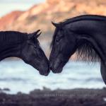 Menorquin; Menorca; Hengst; Rappe; Pferdefotograf; Pferdefotografie; Pferd; Pony; Horse; Equus; Equestrian; Equine; photography; photographer; animal; Pferdefotoworkshop; Pferdefotografieworkshop; Workshop; Fotoworkshop