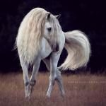PRE; Schritt; Mähne; Schimmel; Hengst; Weide; Pferdefotograf; Pferdefotografie; Pferd; Pony; Horse; Equus; Equestrian; Equine; photography; photographer; animal; Pferdefotoworkshop; Pferdefotografieworkshop; Workshop; Fotoworkshop