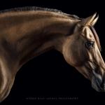Kiger-Mustang; Stute; Portrait; Stand; Studio; Fine-Art; Pferdefotograf; Pferdefotografie; Pferd; Pony; Horse; Equus; Equestrian; Equine; photography; photographer; animal; Pferdefotoworkshop; Pferdefotografieworkshop; Workshop; Fotoworkshop