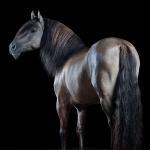 Kiger-Mustang; Hengst; Grullo; Stand; Studio; Fine-Art; Pferdefotograf; Pferdefotografie; Pferd; Pony; Horse; Equus; Equestrian; Equine; photography; photographer; animal; Pferdefotoworkshop; Pferdefotografieworkshop; Workshop; Fotoworkshop