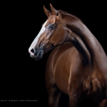 Warmblut; Fuchs; Dressur; Portrait; Studio; Fine-Art; Pferdefotograf; Pferdefotografie; Pferd; Pony; Horse; Equus; Equestrian; Equine; photography; photographer; animal; Pferdefotoworkshop; Pferdefotografieworkshop; Workshop; Fotoworkshop
