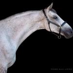 Pferd, Warmblut, Portrait, Schimmel, Pferdefotograf, Pferdefotografie, Pferdefotoworkshop, Workshop, Fotoworkshop, Schwarzer Hintergrund, horse, photo, photography, equus, equine