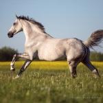 Pferd, Warmblut, Galopp, Schimmel, Pferdefotograf, Pferdefotografie, Pferdefotoworkshop, Workshop, Fotoworkshop, Weide, Raps, horse, photo, photography, equus, equine