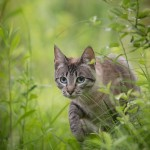 Katzenfotografie, Tierfotografie, Katze, stromern, jagen, Portrait