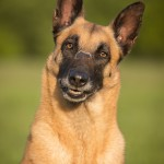 Malinois, belgischer, Schäferhund, Hundefotografie, Portrait, Hund, dog, photography