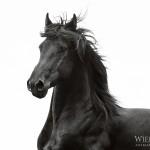 Pferd, Pferdefotografie, Pferdefotograf, Friese, Barock, Portrait, Rappe, Hengst