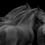 Friese, Herde, schwarz--weiß, Frisian, Pferd, Horse, black, Pferdefotografie, fine-art, photography