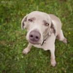 Weimaraner, Hündin, Hundefotografie, Hundefotograf, Tierfotograf, Tierfotografie