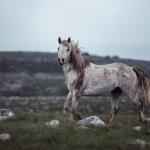 Wildpferde; Hengste; Pferdefotograf; Pferdefotografie; Pferd; Pony; Horse; Equus; Equestrian; Equine; photography; photographer; animal; Pferdefotoworkshop; Pferdefotografieworkshop; Workshop; Fotoworkshop, Workshops