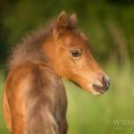 Pony, Pferd, Fohlen, American, Miniature, Horse, filly, foal, Abendlicht, Pferdefotografie, Pferdefotograf