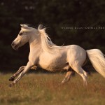 Palomino; American; Minature; Horse; Pferd; Pony; Hengst; Abendlicht; sunset; Pferdefotografie; Pferdefotograf