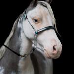 American, Miniature, Horse, Pferd, Pony, Pferdefotografie, Sonderfarbe, Schecke, Silver, Dapple, Hengst