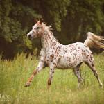 Araber, Vollblut, Vollblutaraber, Partbredaraber, Galopp, Pferd, Pferde; Pferdefoto; Pferdefotograf; Pferdefotografie; Equus, Equine