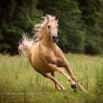 Palomino, Araber, Hengst, Vollblut, Vollblutaraber, Partbredaraber, Galopp, Pferd, Pferde; Pferdefoto; Pferdefotograf; Pferdefotografie; Equus, Equine