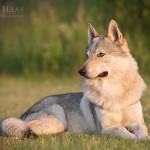 Tschechoslowakischer Wolfshund, Hundefotografie