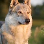 Tschechoslowakischer Wolfshund, Hund, dog, Hundefotografie, Hundefotograf, Abendlicht, Rüde