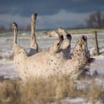 Appaloosa, Schnee, Pferdefotografie, Pferdefotograf, Tierfotografie, Tierfotograf