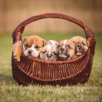Hund, Welpe, Bulldogs, Continental, Hunde, Hundefotografie, Hundefotograf, Tierfotograf, Tierfotografie