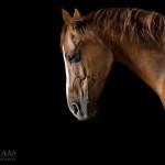 Pferdefotografie, Pferdefotograf, Pferd, Quarter Horse, Studio, Fine-Art, Fotografie, horse, photography