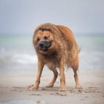Hartzer Fuchs; Schäferhund; Altdeutscher; Hund; Hundefotografie; Tierfotografie; Strand; Ostsee;