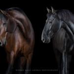Brauner, PRE, Pura Raza Espanola; Pferd; Pferde; Pferdefotograf; Pferdefotografie; horse; photography; Equestrian; Equine; equus