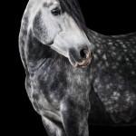 PRE, Spanier, Studio, Fine-art, Schimmel, Apfelschimmel, schwarzer, Hintergrund, Pferdefotografie, Pferdefoto