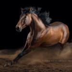 PRE, Spanier, Studio, Fine-art, schwarzer, Hintergrund, Pferdefotografie, Pferdefoto