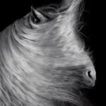 Tinker, Hengst, Studio, fine-art, Equestrian; Equine; Equus; Pferd; Pferde; Pferdefotograf; Pferdefotografie; photography; horse;