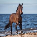 Warmblut, Pferd, Pferde, Wasser, Meer, Ostsee, Pferdefotografie, Pferdefotograf, Equus, Equine, horse, photography