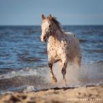 Appaloosa, Pferd, Pferde, Wasser, Meer, Ostsee, Pferdefotografie, Pferdefotograf, Equus, Equine, horse, photography