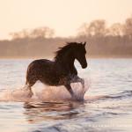 Pferd, Pferde, Friese, Wasser, Meer, Pferdefotografie