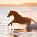 Pferd, Pferde, Warmblut, Wasser, Meer, Pferdefotografie