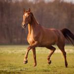 Pferd, Pferde, Warmblut,  Pferdefotografie