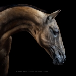 Goldfalbe; Achal-Tekkiner; Hengst; Portrait; Studio; Fine-Art; Pferdefotograf; Pferdefotografie; Pferd; Pony; Horse; Equus; Equestrian; Equine; photography; photographer; animal; Pferdefotoworkshop; Pferdefotografieworkshop; Workshop; Fotoworkshop