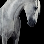 Schimmel; PRE; Portrait; Studio; Fine-Art; Pferdefotograf; Pferdefotografie; Pferd; Pony; Horse; Equus; Equestrian; Equine; photography; photographer; animal; Pferdefotoworkshop; Pferdefotografieworkshop; Workshop; Fotoworkshop