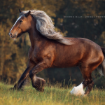 Shire-Horse; Stute; Galopp; Abendlicht; Pferdefotograf; Pferdefotografie; Pferd; Pony; Horse; Equus; Equestrian; Equine; photography; photographer; animal; Pferdefotoworkshop; Pferdefotografieworkshop; Workshop; Fotoworkshop