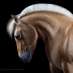 Norweger; Fjordpferd; Portrait; Studio; Fine-Art; Pferdefotograf; Pferdefotografie; Pferd; Pony; Horse; Equus; Equestrian; Equine; photography; photographer; animal; Pferdefotoworkshop; Pferdefotografieworkshop; Workshop; Fotoworkshop