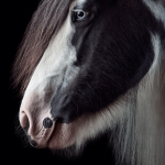 Tinker; Gypsy Vanner; Schecke; Rappschecke; Studio; Fine-Art; Pferdefotograf; Pferdefotografie; Pferd; Pony; Horse; Equus; Equestrian; Equine; photography; photographer; animal; Pferdefotoworkshop; Pferdefotografieworkshop; Workshop; Fotoworkshop