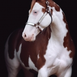 Paint-Horse; Schecke; Portrait; Hengst; Pferdefotograf; Pferdefotografie; Pferd; Pony; Horse; Equus; Equestrian; Equine; photography; photographer; animal; Pferdefotoworkshop; Pferdefotografieworkshop; Workshop; Fotoworkshop